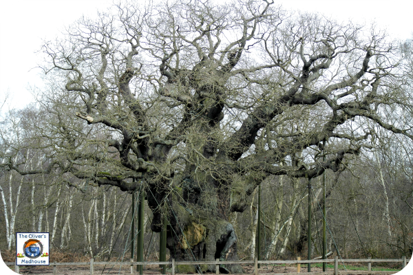 Sherwood Forest & The Major Oak - My Better Place The Oliver\\\'s Madhouse