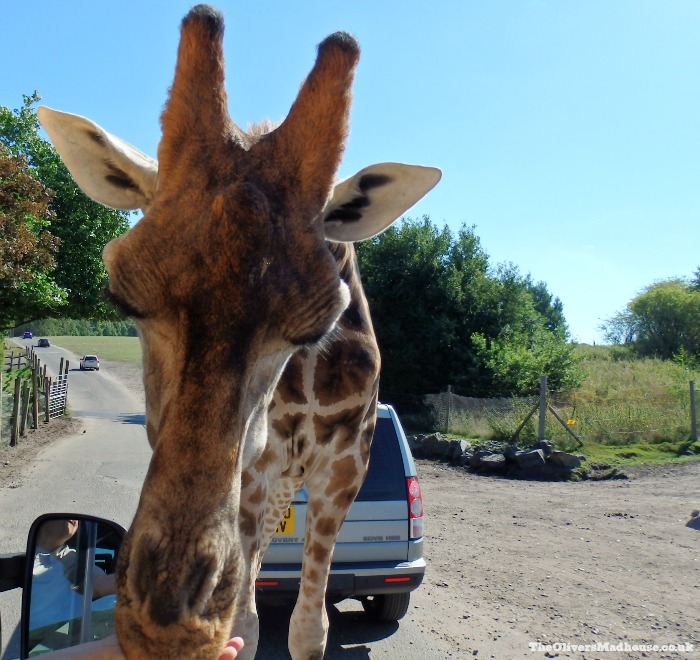 Discovering West Midlands Safari Park The Oliver\\\'s Madhouse