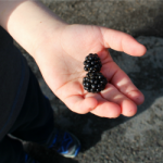Blackberry Picking The First Tale