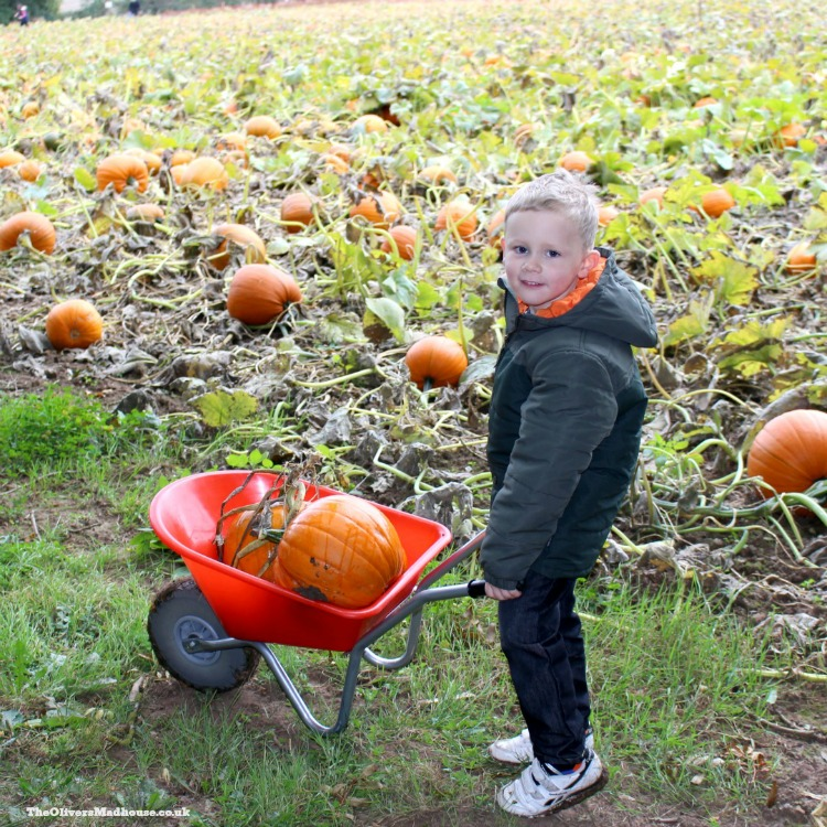 pumpkin-picking-with-barrow
