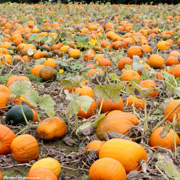 lots of pumpkins in a field