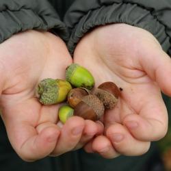 acorns-250