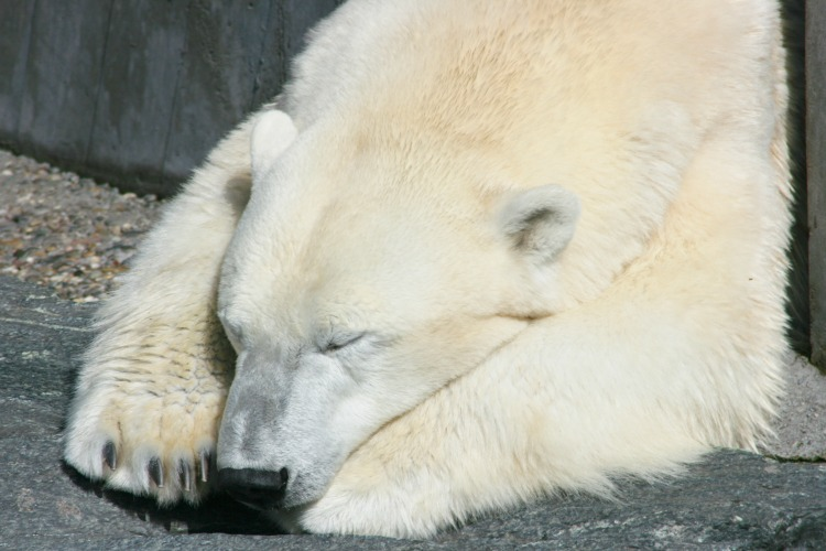 Detail view of a sleeping polar bear