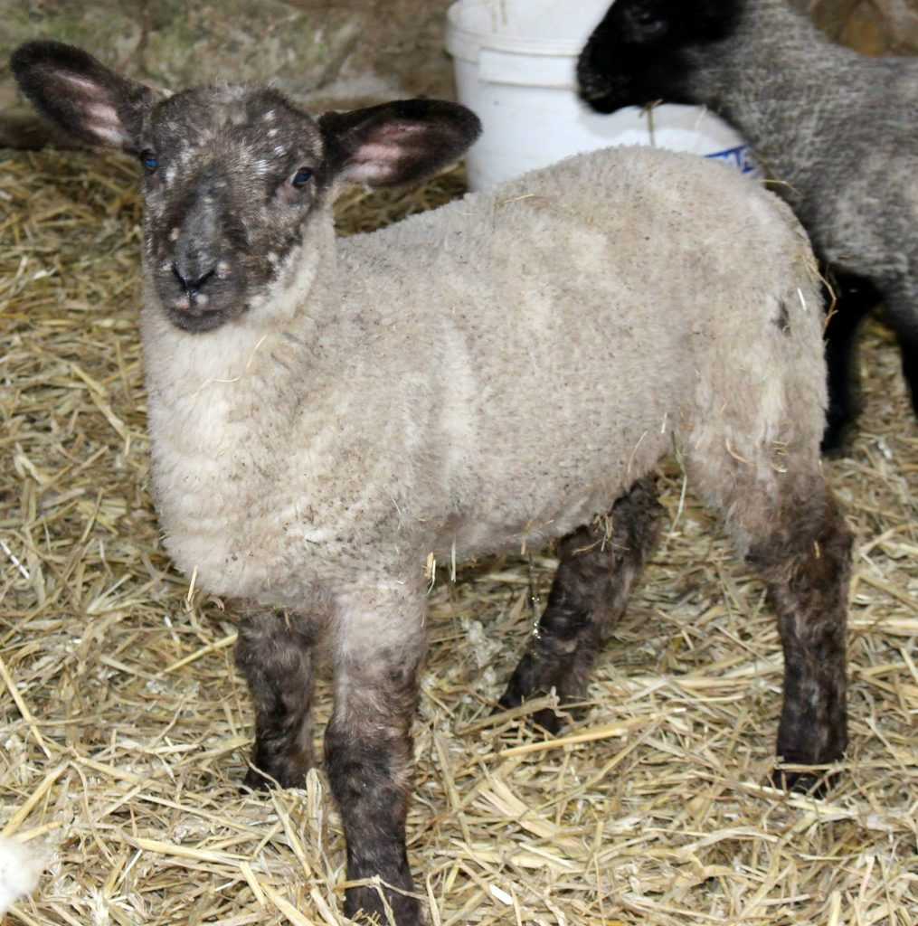 lamb with brown face and legs