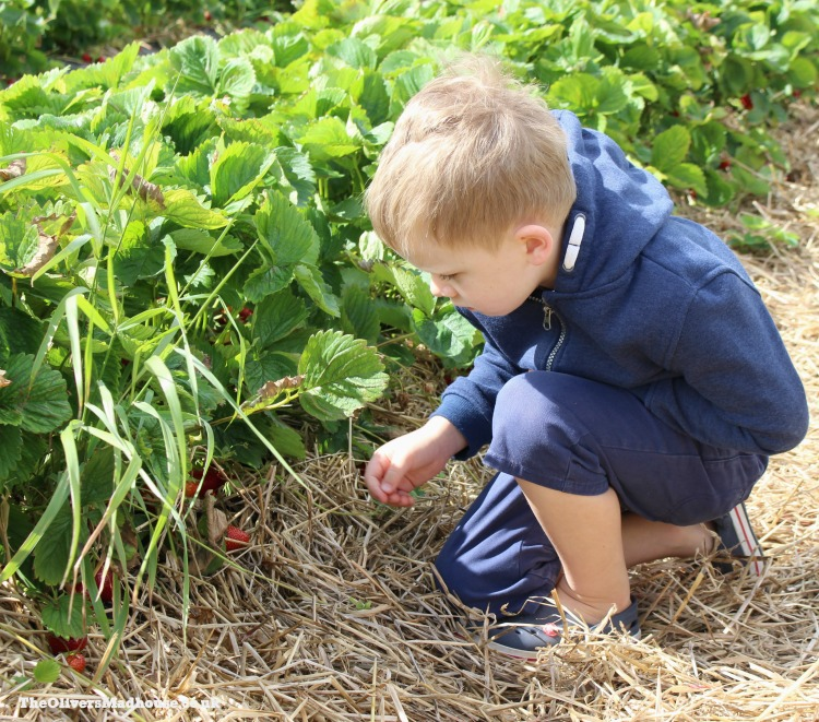 Strawberry Picking For The First Time The Oliver\\\'s Madhouse