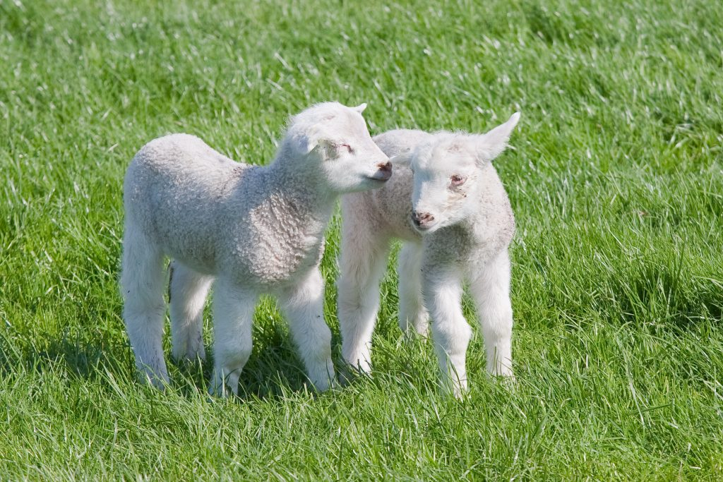 Two satisfied young lambs in the pasture at springtime