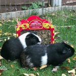 Christmas Pet Ideas For Guinea Pigs With HayPigs!